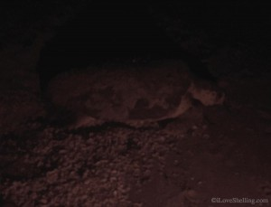 Loggerhead sea turtle laying eggs on Sanibel beach