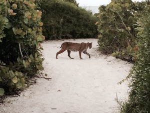 Sanibel Bobcat crossing a beach path