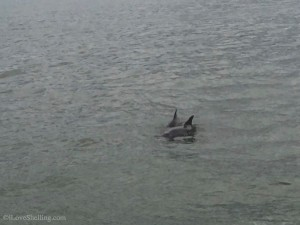 Sanibel Dolphin pair