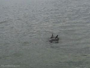 Sanibel Dolphin pair