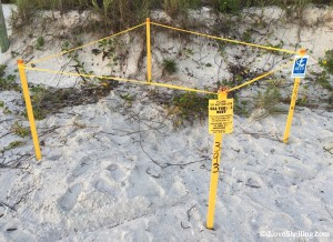 Sanibel Loggerhead Sea turtle nest
