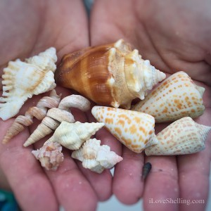 beautiful shells found on iLoveShelling shelling trip