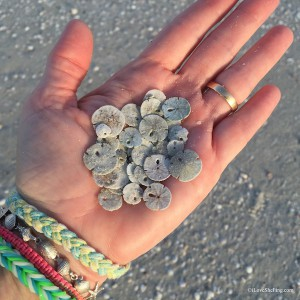 small dried sand dollar dimes