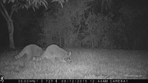 2 Sanibel Raccoons eating mangoes 0815