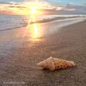 Junonia cob in Sanibel sunset