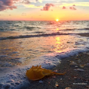 Lucky Sanibel Horseshoe crab in the sunset0815