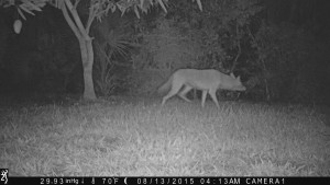 Rambo Sanibel Coyote
