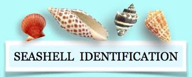identify seashell shell