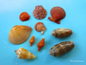 beautiful crassatella with gorgeous shells-1