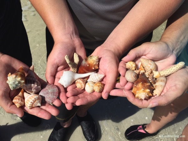 Albino whelk along with other beautiful shells