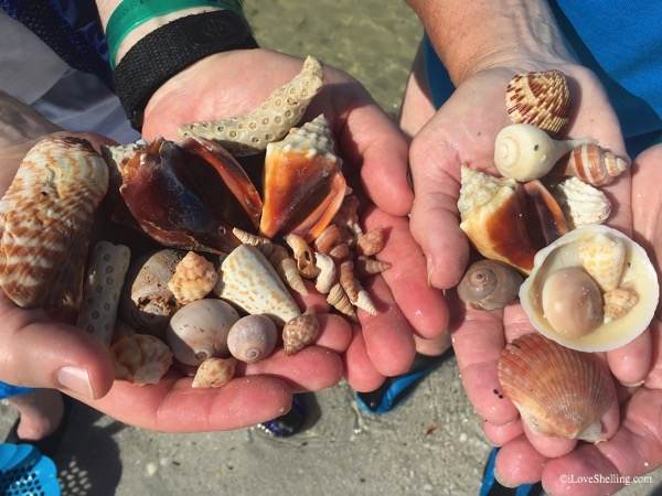 Shells found beach combing south west Florida