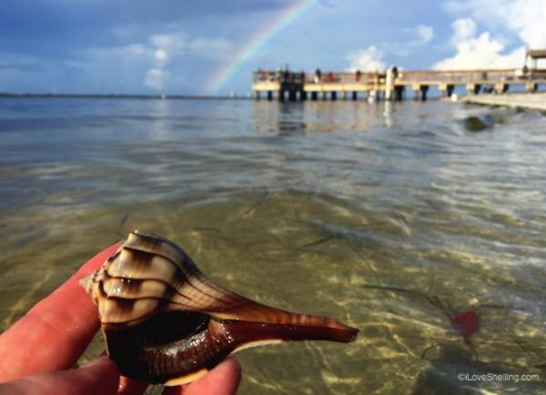 live lightning whelk near sanibel pier
