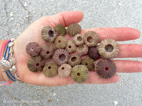 sea urchin colors