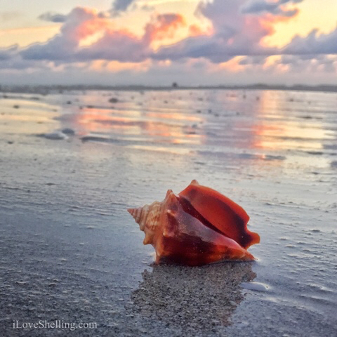 Conch if you love sunset