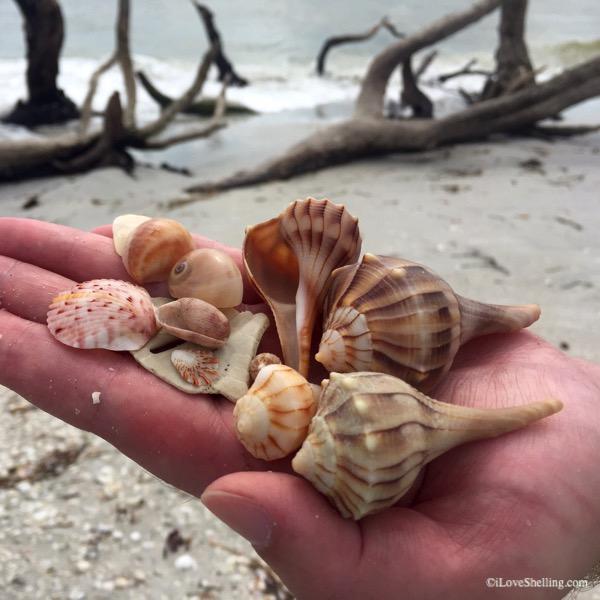 whelk shells on the beach