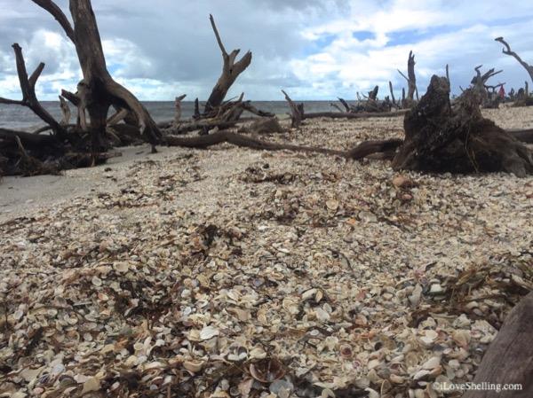 Tree roots and seashells on Florida island beach
