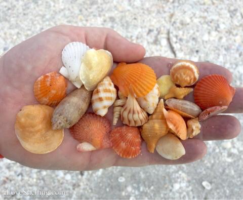 orange shellicious shells