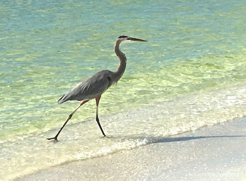 Blue Heron on Cayo Costa