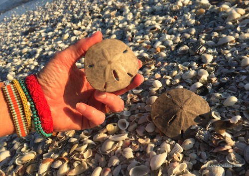 Collecting sand dollars on Sanibel Island
