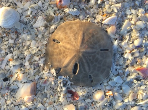Sanibel seashells and sand dollars