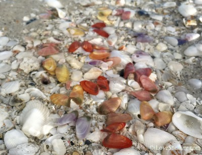 colorful coquina shells on the beach