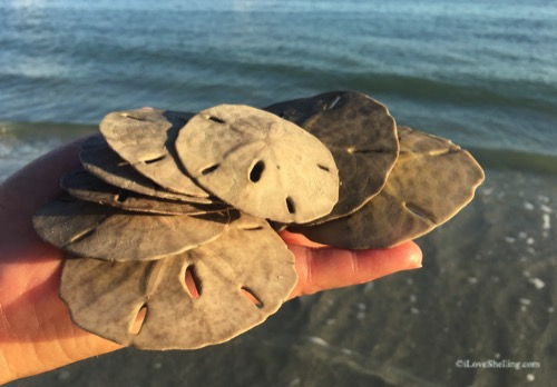 finding sand dollars on the beach
