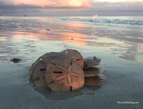 sand dollars at sunset