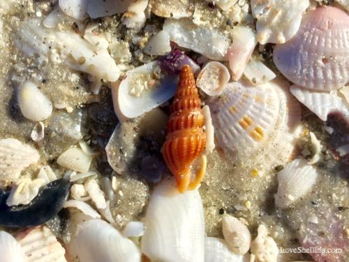 turrid shell sanibel island