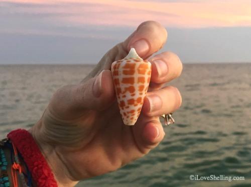 Alphabet cone seashell beach find on Sanibel island-1