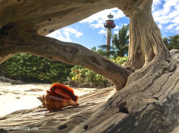 Rooting For Seashells At Sanibel Lighthouse Beach