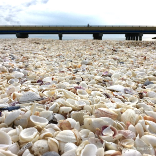 seashells piled high at blind pass bridge sanibel