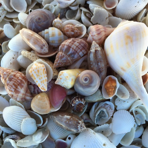 extreme shell finds sanibel island