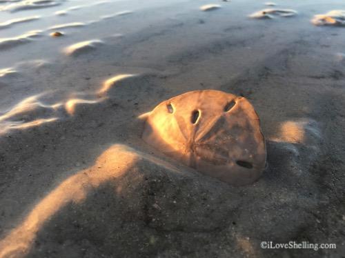sand dollar with sunrise shadows-1