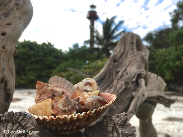 seashells on driftwood -Sanibel lighthouse beach