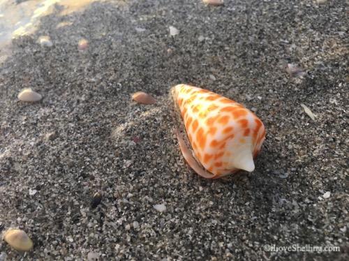 washed up alphabet cone seashell-1