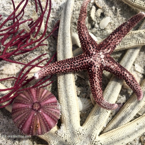 Sanibel sea stars and urchins-1