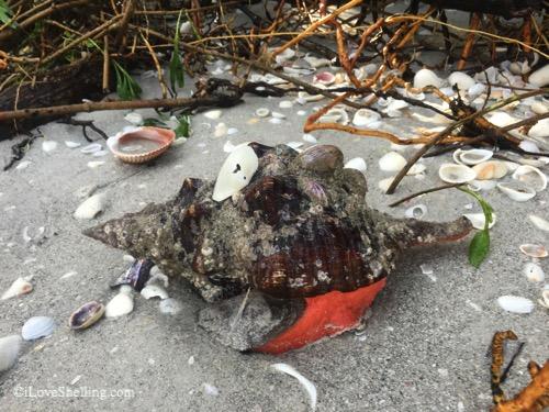 live horse conch on sanibel island