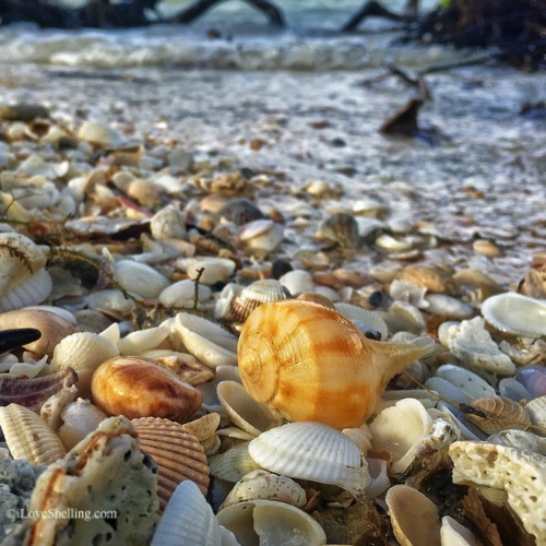 pear whelk among seahsells-1