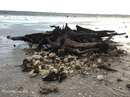 pile of seashells around tree roots-1