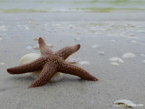 sea star and seashells-1