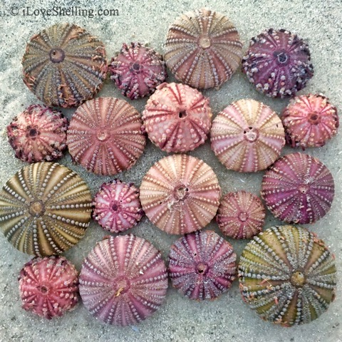 sea urchin colors in the sand