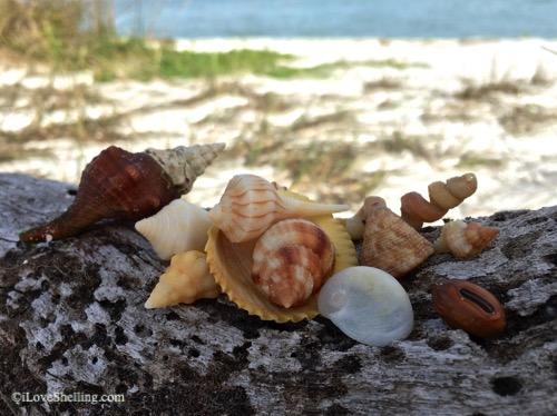 seashells and beach sea bean drift seed