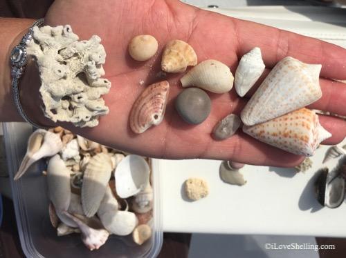seashells found gulf of mexico