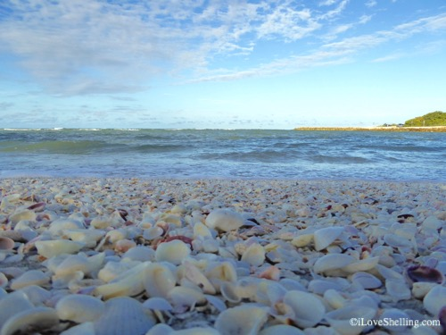 seashells in the gulf