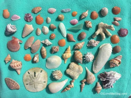 variety of Bonita beach shells