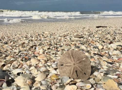Sand dollars in the sand and shells