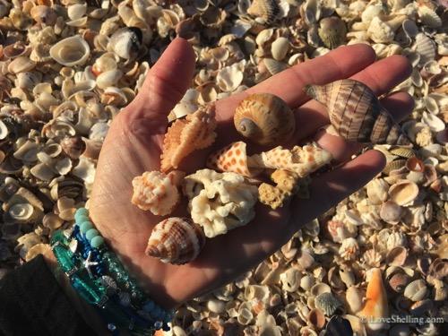 captiva shells feb 2016