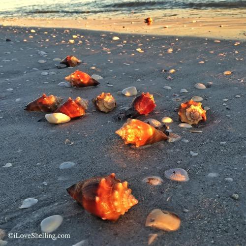 fighting conch shells lining Sanibel beach