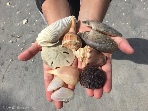 finding shells and sand dollars