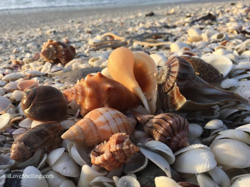 sanibel shells after a storm